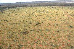 Aerial view on the Australian fairy circles which spread homogeneously over the landscape. Photo: Kevin Sanders