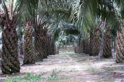 Oil palm plantation on Sumatra, Indonesia. There, scientists of Göttingen University  and the UFZ investigate the consequences of the conversion of lowland rainforests into oil palm plantations. Photo: Claudia Dislich, UFZ