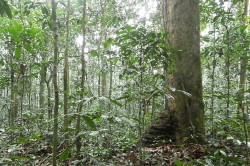 Forest dominated by Gilbertiodendron dewevrei.