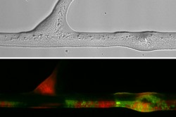 Upper panel: Transmitted light micrograph showing bacteria along a hypha. Lower panel: Micrograph visualising the distribution of transconjugant bacteria (in green) along the hypha as depicted in the upper panel. Photo: Berthold et al. 2016 in Scientific Reports