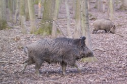 Compared with the previous year, African swine fever has spread further. Photo: André Künzelmann / UFZ