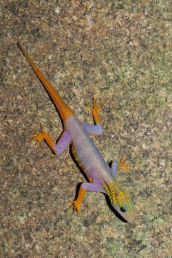 This brightly-coloured gecko, Cnemaspis psychedelica, was not discovered until 2010 and has achieved great popularity within a very short time. This endemic lives exclusively on the island of Hon Khoai in Vietnam which measures a mere eight square kilometres. These geckos have been offered for sale in Europe on a regular basis since 2013 - one pair for 2500 to 3000 euros. Photo: Lee Grismer
