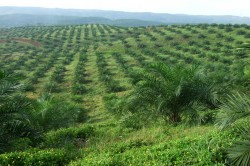 Young oil palm plantation on Sumatra, Indonesia. The plantations often extend to the horizon. Photo: Kerstin Wiegand, University of Göttingen