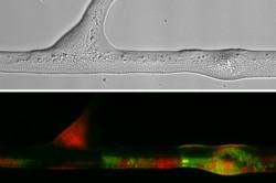 Bild oben: Durchlichtmikroskopische Aufnahme von Bakterien (Pseudomonas putida) entlang einer Hyphe (Pythium ultimum). Bild unten: Fluoreszenzmikroskopische Aufnahme der durch Gentransfer entstandenen Bakterien (in Grün) entlang der im oberen Bild dargestellten Hyphe. Foto: Berthold et al. 2016 in Scientific Reports