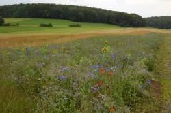 Als ökologische Vorrangflächen können zum Beispiel Blühstreifen angelegt werden, die sich als effektive Greening-Maßnahme erwiesen haben. Foto: Rainer Oppermann