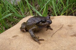 The study revealed that the western lazy toad (Scutiger occidentalis), found at an altitude of 4,300 m on Pakistan's Deosai Plateau, is a separate species that is presumably one of the ancestors of the species inhabiting the central Himalayas. This stands in contradiction to the assumption that the lazy toads had colonized the Himalayas from the east. Photo: Matthias Stöck