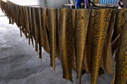 Pythonhäute in einer Gerberei in West Malaysia für den internationalen Markt. Ob es sich dabei um illegale oder legale Fänge handelt, ist bislang durch die Behörden kaum nachweisbar. Foto: Mark Auliya, UFZ