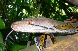 As an adult, the southeast Asian reticulated python (Malayopython reticulatus ssp.) belongs to the largest predators of Asia. The species is particular in demand as a leather supplier for the fashion industry. Photo: Mark Auliya, UFZ