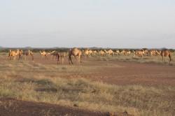 Pastorale Kamelherden im Norden Kenias. Herden wie diese können durch indexbasierte Vieh-Versicherungen abgesichert werden. Foto: Universität Oregon / Leigh Johnson