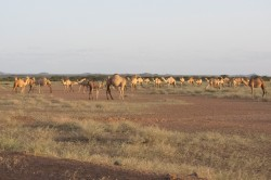 Pastoralist camel herds in northern Kenya. Herds like these can be covered with index-based livestock insurance. Photo: Orgegon University / Leigh Johnson