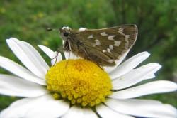 Schmetterlinge wie dieser Dickkopffalter sind wichtige Bestäuber in unseren Ökosystemen.