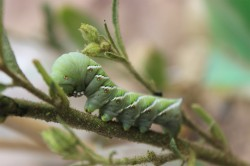 After the wild tobacco plant (Nicotiana attenuata) has been attacked by a caterpillar of the tobacco hawk moth, it waits a few days and only then starts its chemical defence. Photo: Pia Backmann
