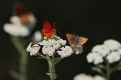 Dukaten-Feuerfalter (Lycaena virgaureae) und Brauner Feuerfalter (Lycaena tityrus)