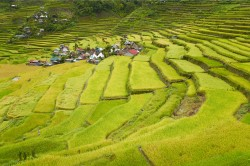 Artenreiche historische Kulturlandschaften gibt es nicht nur in Mitteleuropa, sondern beispielsweise auch in Asien, wie die hier abgebildeten Reisterrassen von Batad – eine Weltkulturerbe-Landschaft im Norden der Philippinen. Eine weitere nachhaltige Nutzung trägt zum Erhalt der Agrobiodiversität bei und beeinhaltet zugleich den Schutz artenreicher Bergwälder als wichtige Wasserspeicher für eine kontinuierliche Bewässerung.
