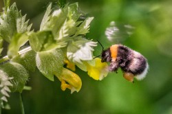 In cities, the dominant pollinators are bumble bees. Photo: André Künzelmann / UFZ