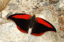 Polygrapha suprema (Schaus, 1920), a rare and endangered butterfly exclusive to the high mountains of Atlantic Forest (Brazil). Threatened by habitat loss.