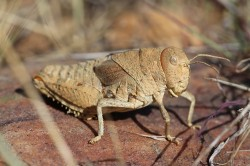 Prionotropis rhodanica Uvarov, 1923, the Crau Plain Grasshopper, critically endangered and exclusive to southern France. Threatened by habitat loss including road construction. Photo: Axel Hochkirch