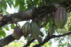 85 Prozent des Kakaos, den Deutschland importiert, stammen aus nur fünf Ländern überwiegend Westafrikas. Dessen Produktion verursacht dort z.T. erhebliche Auswirkungen auf die biologische Vielfalt.
