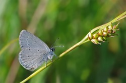 The small blue (Cupido minimus), the smallest butterfly found in central Europe, is an open landscape specialist. It does not benefit from Natura 2000 conservation areas. Photo: Erk Dallmeyer