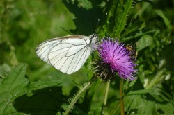 The black-veined white (Aporia crataegi) is a widespread butterfly found in very variable habitats. It is one of the few butterfly species to benefit from Natura 2000 conservation areas.
