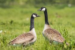 Kanadagänse (Branta canadensis) sind heute in Europa weit verbreitet und stellen eine ernst zu nehmende Gefahr für die heimische Biodiversität dar. Sie verursachen auch wirtschaftliche Schäden in der Landwirtschaft und können zu Problemen in der Luftfahrt führen, wenn sie mit Flugzeugen kollidieren. Foto: ©Sander Meertins / AdobeStock
