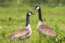 Canada geese (Branta canadensis) are now well established in Europe, posing a serious threat to biodiversity and causing economic damage on farmland. They have also been involved in a number of air strikes. Photo: ©Sander Meertins / AdobeStock