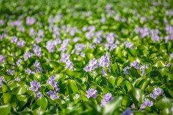 Water hyacinth (Eichhornia crassipes), native to South America, has spread widely around the world due to its popularity as an ornamental plant, with impacts on fishing and water supplies. Invasion by water hyacinth in Eastern Africa, for example, made fishing grounds in Lake Victoria inaccessible. Photo: ©Miguel Almeida / AdobeStock