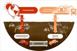 Klimawandel und Landnutzung reduzieren die Biomasse der Bodentiere über unterschiedliche Pfade: Das veränderte Klima reduziert die Körpergröße und die Bewirtschaftung die Häufigkeit.