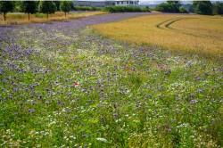 Die Anlage von Blühstreifen ist z.B. eine wirksame Strukturmaßnahme zum Schutz der Bestäuber. Foto: karegg/AdobeStock