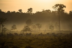 Im brasilianischen Amazonasgebiet (Provinz Mato Grosso) werden tropische Wälder durch Weideland für Rinder ersetzt.