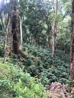"""Agroforstsystem nahe """"Sierra de Agalta"""", Olancho, Honduras: Kaffeepflanzen ersetzen den Bodenbewuchs im Primär-Regenwäldern Foto: Yves Zinngrebe"""