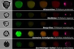 Mittels bildbasierter Partikelanalyse lassen sich mikroskopische Aufnahmen von Pollen gewinnen, die für Bestäuber wichtig sind. Jede Reihe zeigt ein einzelnes Pollenkorn einer bestimmten Pflanzenart mit einer normalen mikroskopischen Aufnahme (Bilder links) und Fluoreszenzaufnahmen für verschiedene Spektralbereiche (farbige Bilder rechts).