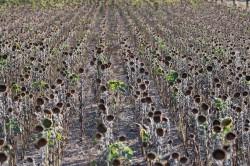Vertrocknetes Sonnenblumenfeld Foto: André Künzelmann / UFZ