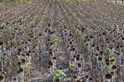 Dried out sunflower field