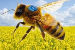 Konzept eines bienengetragenen RFID-Sensors, der unterstützt durch eine miniaturisierte Batterie des Fraunhofer IZMs die Forschung zur Bienengesundheit vorantreiben soll.