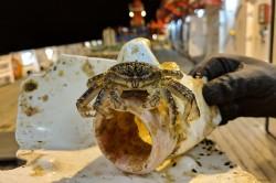 Reisende auf Plastikmüll: eine Krabbe aus dem Pazifischen Ozean. Foto: Gritta Veit-Köhler / Senckenberg am Meer