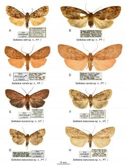 Die vier Arten (jeweils männlich und weiblich) der Gattung Setteleia Foto: Zoological Studies